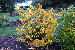 Spicebush (Lindera benzoin) at Bayport Flower Houses