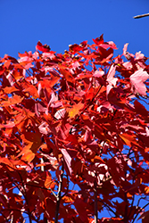 October Glory Red Maple (Acer rubrum 'October Glory') at Bayport Flower Houses
