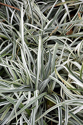 Silver Dragon Lily Turf (Liriope spicata 'Silver Dragon') at Bayport Flower Houses