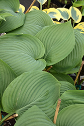 Empress Wu Hosta (Hosta 'Empress Wu') at Bayport Flower Houses