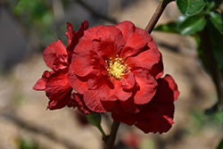 Double Take Scarlet™ Flowering Quince (Chaenomeles speciosa 'Double Take Scarlet Storm') at Bayport Flower Houses