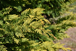 Gold Rider Leyland Cypress (Cupressocyparis x leylandii 'Gold Rider') at Bayport Flower Houses