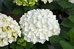 Blushing Bride® Hydrangea (Hydrangea macrophylla 'Blushing Bride') at Bayport Flower Houses