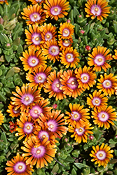 Fire Spinner Ice Plant (Delosperma 'Fire Spinner') at Bayport Flower Houses