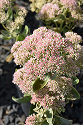 Autumn Charm Stonecrop (Sedum 'Autumn Charm') at Bayport Flower Houses