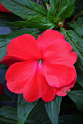 Sonic® Red New Guinea Impatiens (Impatiens 'Sonic Red') at Bayport Flower Houses