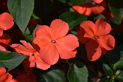Beacon® Salmon Impatiens (Impatiens walleriana 'PAS1357835') at Bayport Flower Houses