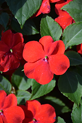 Beacon® Bright Red Impatiens (Impatiens walleriana 'PAS1413665') at Bayport Flower Houses