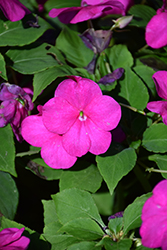 Beacon® Violet Shades Impatiens (Impatiens walleriana 'PAS1357834') at Bayport Flower Houses